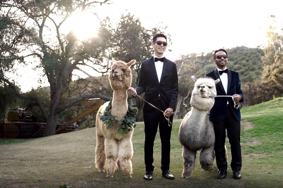Alpacas? YES!!